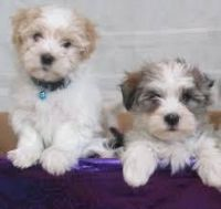 Havanese Puppies for sale in Idaho Falls, ID, USA. price: NA