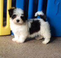 Havanese Puppies for sale in Austin St, Corpus Christi, TX, USA. price: NA