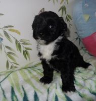 Havanese Puppies for sale in SC-14, Fountain Inn, SC 29644, USA. price: NA
