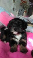 Havanese Puppies for sale in Florida City, FL, USA. price: NA