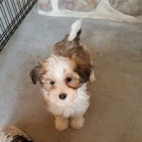 Havanese Puppies for sale in New Holland, PA 17557, USA. price: NA
