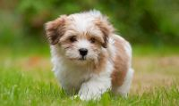 Havanese Puppies for sale in IL-59, Plainfield, IL, USA. price: NA