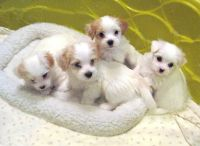 Havanese Puppies for sale in 58503 Rd 225, North Fork, CA 93643, USA. price: NA