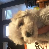 Havanese Puppies for sale in Macomb County, MI, USA. price: NA