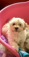 Havanese Puppies for sale in Jersey City, NJ, USA. price: NA