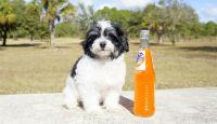 Havanese Puppies for sale in Pottsboro, TX 75076, USA. price: NA