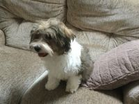 Havanese Puppies for sale in Bloomfield Ave, Bloomfield, CT 06002, USA. price: NA