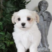 Havanese Puppies for sale in TX-121, Blue Ridge, TX 75424, USA. price: NA