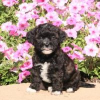 Havanese Puppies for sale in Kansas City, KS, USA. price: NA