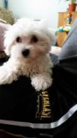 Havanese Puppies for sale in Klamath Falls, OR, OR, USA. price: NA