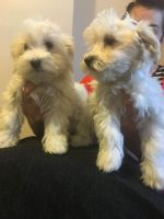 Havanese Puppies for sale in Indianapolis, IN, USA. price: NA