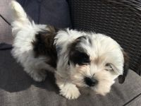 Havanese Puppies for sale in Michigan Ave, Inkster, MI 48141, USA. price: NA
