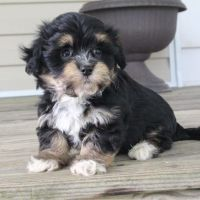 Havanese Puppies for sale in Canton, OH, USA. price: NA