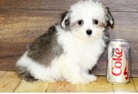 Havanese Puppies for sale in Tecate, CA 91987, USA. price: NA