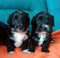 Havanese Puppies for sale in Jacksonville, FL, USA. price: NA