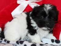 Havanese Puppies for sale in San Diego, CA, USA. price: NA