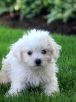 Havanese Puppies for sale in Glastonbury, CT, USA. price: NA