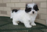 Havanese Puppies for sale in Bozeman, MT, USA. price: NA