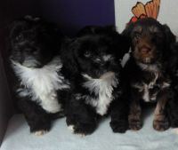 Havanese Puppies for sale in Erie, PA, USA. price: NA