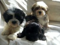 Havanese Puppies for sale in Delaware, OH 43015, USA. price: NA