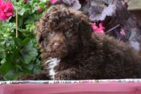 Havanese Puppies for sale in Florence St, Denver, CO, USA. price: NA