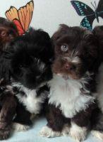 Havanese Puppies for sale in Michigan Avenue, Chicago, IL, USA. price: NA