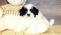 Havanese Puppies for sale in Rice, MN 56367, USA. price: NA