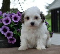 Havanese Puppies for sale in 10001 US-4, Whitehall, NY 12887, USA. price: NA