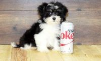 Havanese Puppies for sale in Brunswick, OH 44212, USA. price: NA