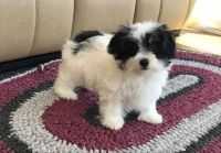 Havanese Puppies for sale in Salem, OR, USA. price: NA