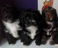 Havanese Puppies for sale in Nenana, AK 99760, USA. price: NA