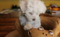 Havanese Puppies for sale in Pittsburgh, PA 15252, USA. price: NA