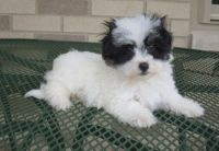 Havanese Puppies for sale in Abbeville, SC 29620, USA. price: NA