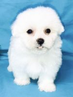 Havanese Puppies for sale in Tinley Park, IL, USA. price: NA