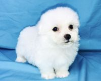Havanese Puppies for sale in Shawnee, OK, USA. price: NA