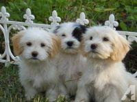 Havanese Puppies for sale in 34 Hamilton St, Albany, NY 12207, USA. price: NA