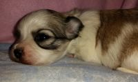 Havanese Puppies for sale in Thomasville, GA, USA. price: NA