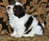 Havanese Puppies for sale in Vancouver, WA, USA. price: NA