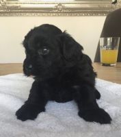 Havanese Puppies for sale in Chattanooga, TN 37401, USA. price: NA