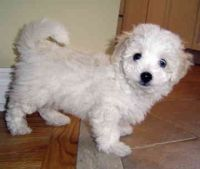 Havanese Puppies for sale in West Palm Beach, FL, USA. price: NA