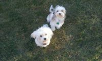 Havanese Puppies for sale in Huron, SD 57350, USA. price: NA