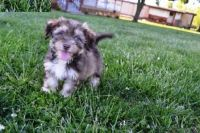Havanese Puppies for sale in Beverly Hills, CA 90210, USA. price: NA