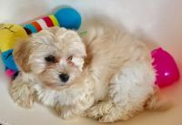 Havanese Puppies for sale in Boston, MA, USA. price: NA