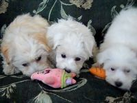 Havanese Puppies for sale in Oakland, CA 94624, USA. price: NA