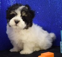 Havanese Puppies for sale in Green Bay, WI, USA. price: NA