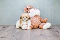 Havanese Puppies for sale in Nashville, TN 37246, USA. price: NA