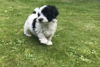 Havanese Puppies for sale in New York County, New York, NY, USA. price: NA