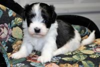 Havanese Puppies for sale in Sacramento, CA, USA. price: NA