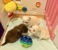 Havanese Puppies for sale in Los Angeles, CA, USA. price: NA