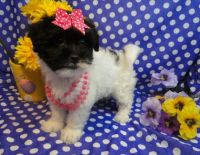 Havanese Puppies for sale in Portland, ME, USA. price: NA